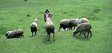 Nilda with Village Sheep
